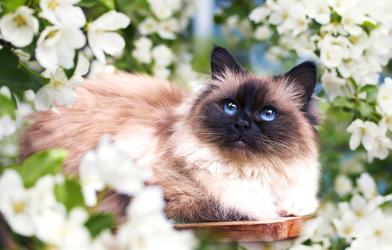 Фото обои кошка, цветы, весна, мордочка, пушистая