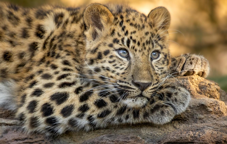 Фото обои взгляд, морда, леопард, дикая кошка