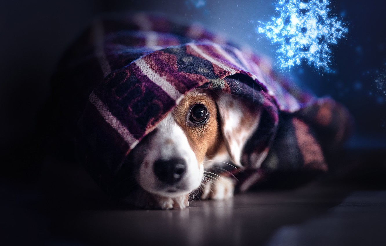 Фото обои взгляд, собака, плед, мордашка, снежинка