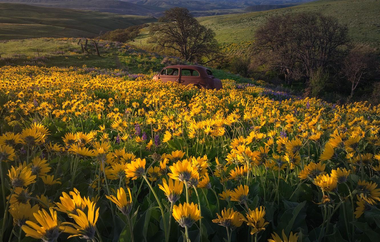 Фото обои машина, цветы, луг, Бальзамориза, Washington State, Columbia Hills State Park, Штат Вашингтон, Парк штата Колумбия …