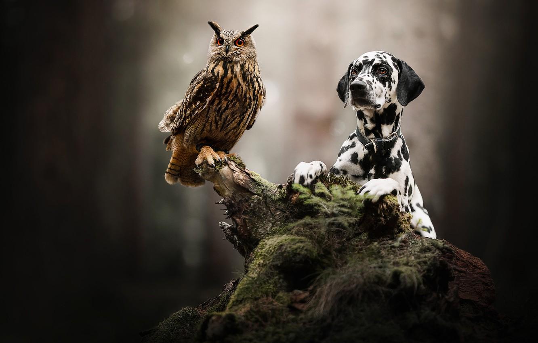 Фото обои сова, птица, собака, коряга, боке, филин