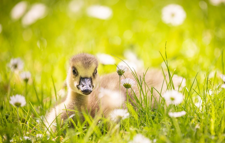 Фото обои лето, природа, Little goose