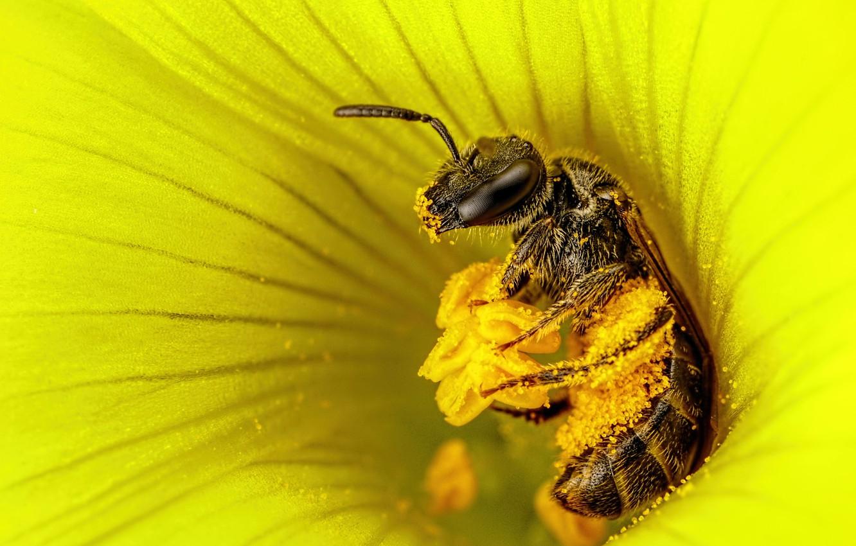 Обои насекомое, цветок, пчела. Макро foto 13