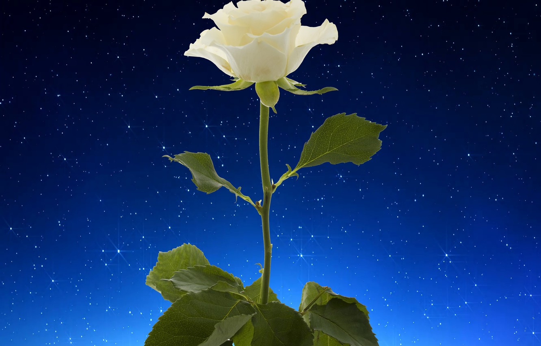 Фото обои rose, white, flower, starry sky
