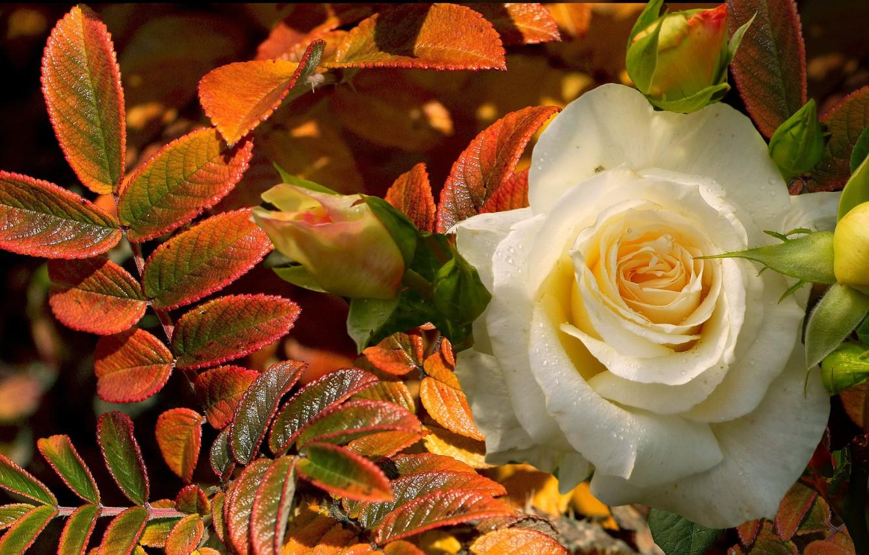 Фото обои осень, листья, роса, роза, белая