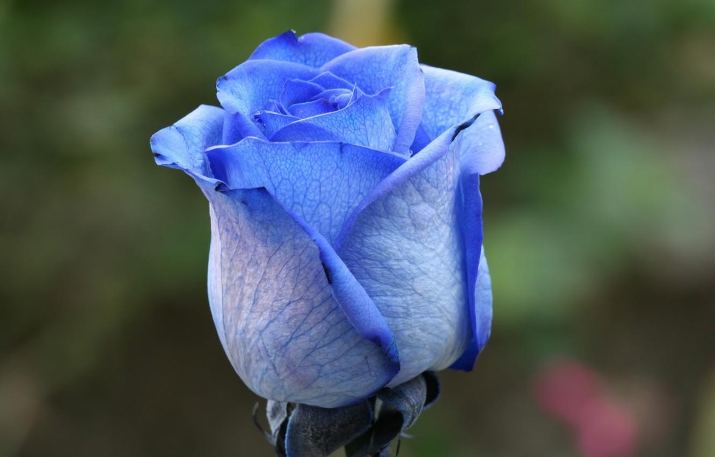 Синяя роза фото картинки