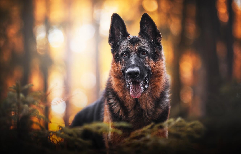 Фото обои взгляд, морда, портрет, собака, боке, Немецкая овчарка