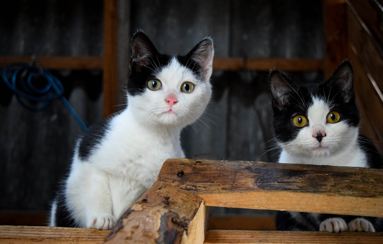 Фото обои животные, пара, котята