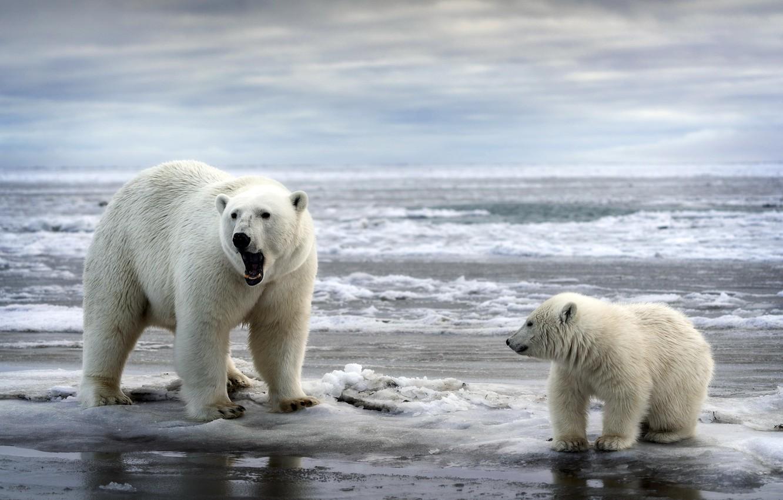 Фото обои море, природа, медведи