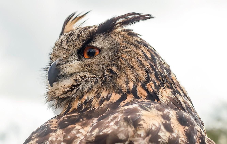 Фото обои природа, птица, Eurasian Eagle Owl