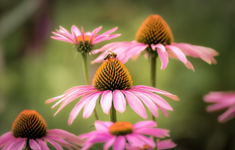Фото обои макро, пчела, фон, лепестки, Эхинацея