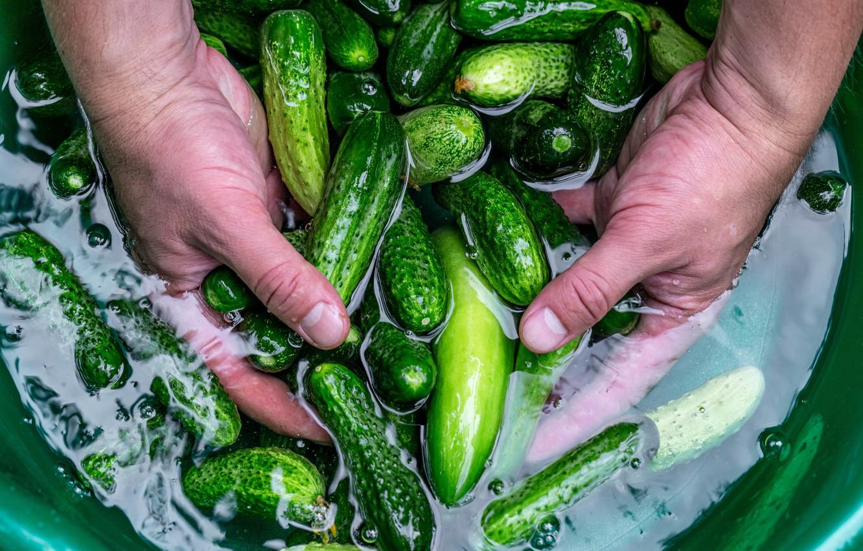 Фото обои блеск, руки, зеленые, повар, овощи, свежие, огурцы, таз, огурчики, маринованные, плавают, малосольные, засолка, рассол, соленые, …