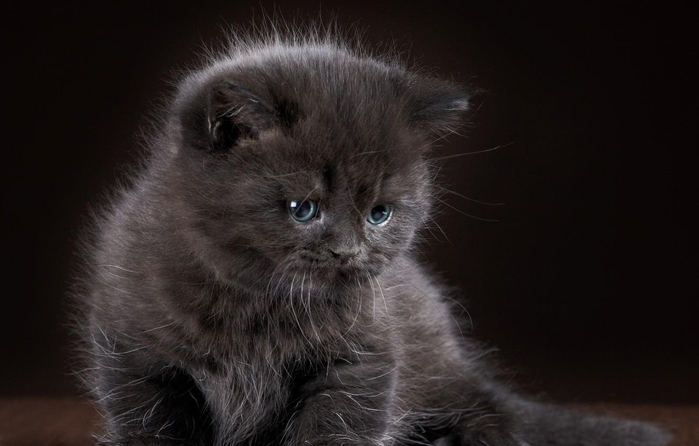 Фото обои котенок, серый, малыш, grey, wallpapers, cats