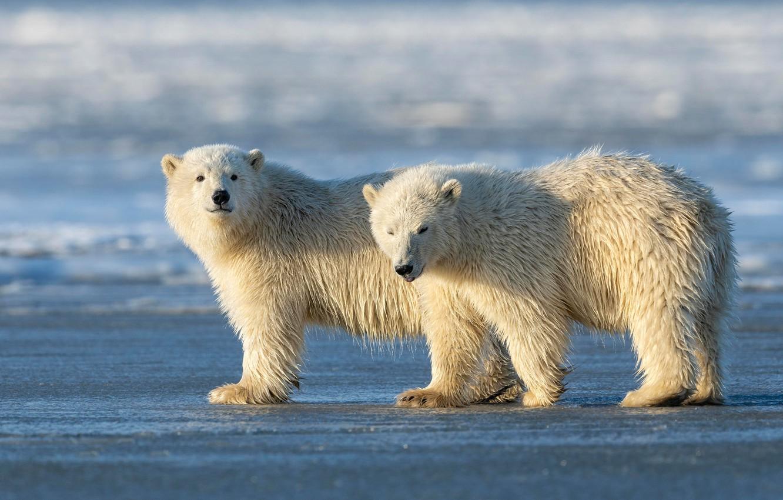 Фото обои зима, белый, снег, природа, поза, берег, медведь, медведи, пара, медвежонок, медвежата, белый медведь, парочка, два, …