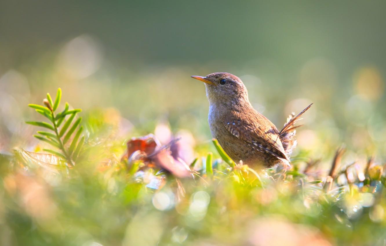 Фото обои лето, трава, природа, птица, боке, крапивник