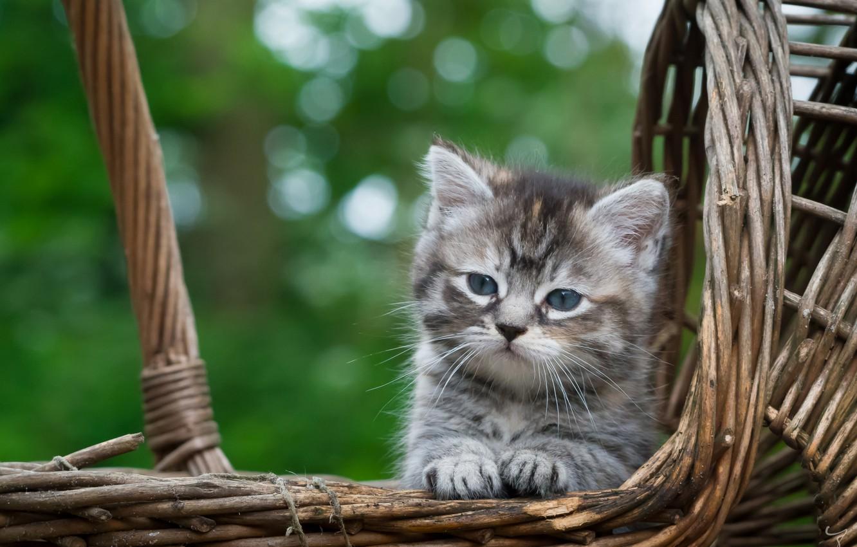 Фото обои корзина, малыш, мордочка, котёнок