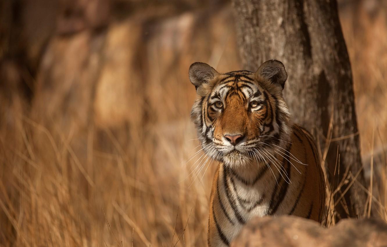 Фото обои взгляд, морда, тигр, хищник, дикая кошка, боке