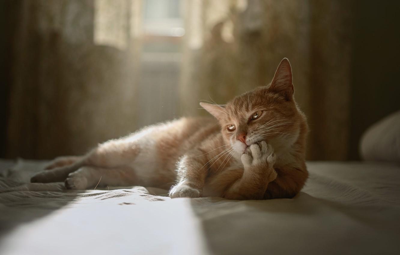 Фото обои кот, поза, комната, животное, кровать, окно