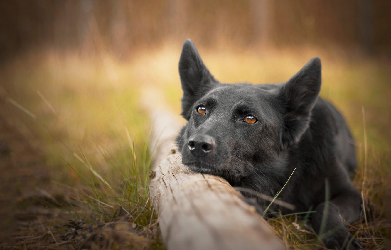 Фото обои морда, собака, бревно, боке