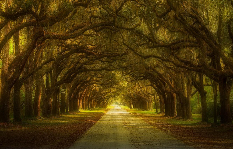 Фото обои деревья, аллея, trees, alley, Ruiqing P