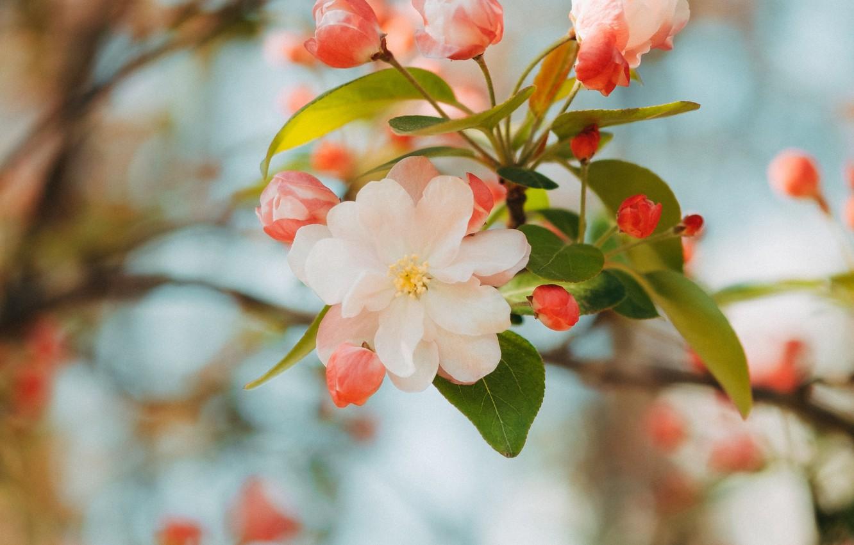 Фото обои цветок, розовый, ветка, весна, яблоня, цветение, flower, pink, spring, branch, bloom, apple tree