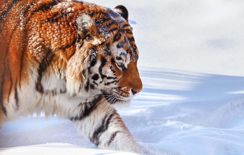 Фото обои зима, снег, природа, тигр, животное, хищник, Олег Богданов