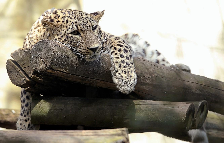 Фото обои хищник, леопард, брёвна