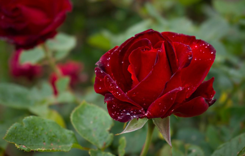 Фото обои зелень, лето, листья, капли, цветы, природа, розы