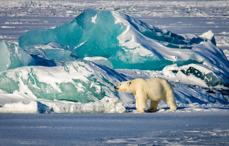 Обои льдина, Медведь, мишка, один. Разное foto 12