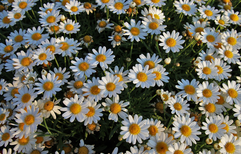 Фото обои лето, цветы, настроение, ромашки