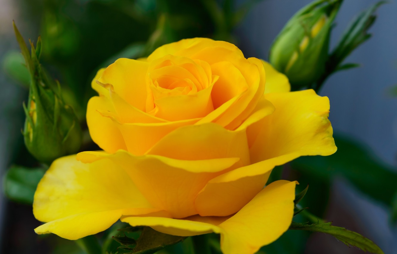 Фото обои макро, крупный план, роза, куст, @iaroshenko, Iaroshenko
