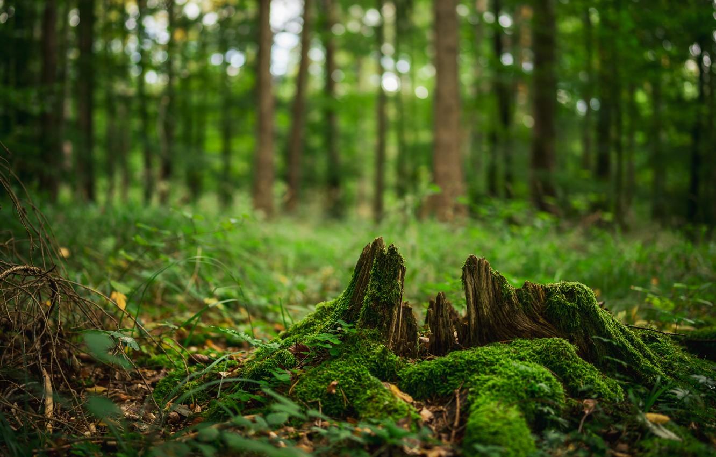 Фото обои лес, деревья, мох, пень