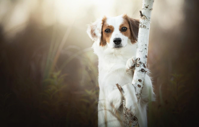 Фото обои взгляд, природа, дерево, собака, лапы, ствол, береза, стойка, размытый фон, коикерхондье