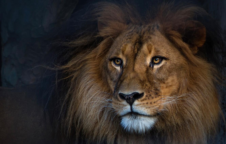 Фото обои взгляд, морда, темный фон, портрет, лев