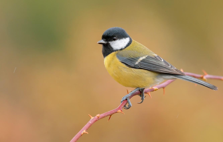 Фото обои птица, ветка, желтый фон, синица