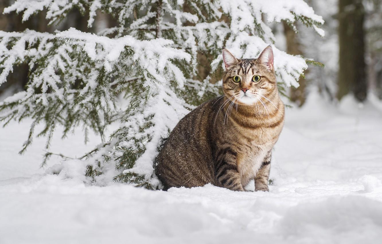 Фото обои зима, кошка, кот, снег, котейка, Максим Вышарь