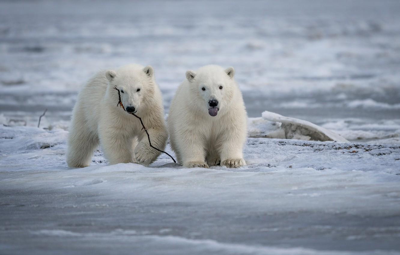 Фото обои лёд, медвежата, парочка, Белые медведи, Полярные медведи