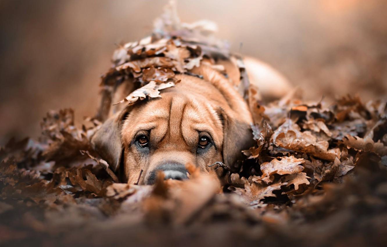 Фото обои осень, взгляд, листья, листва, собака, щенок, мордашка, пёсик