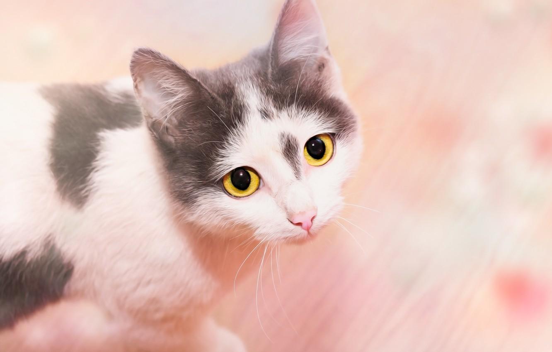 Фото обои кошка, взгляд, фон, мордашка