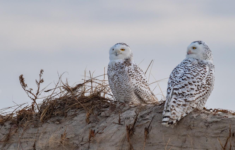Фото обои песок, птицы, две, горка, пара, солома, совы, полярная сова, две птицы, две совы
