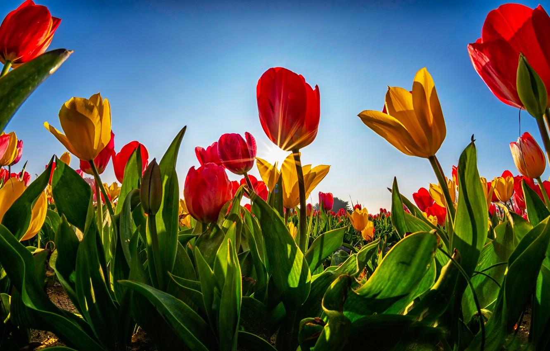 Фото обои зелень, поле, небо, листья, солнце, лучи, свет, цветы, синева, стебли, поляна, яркие, весна, желтые, тюльпаны, …