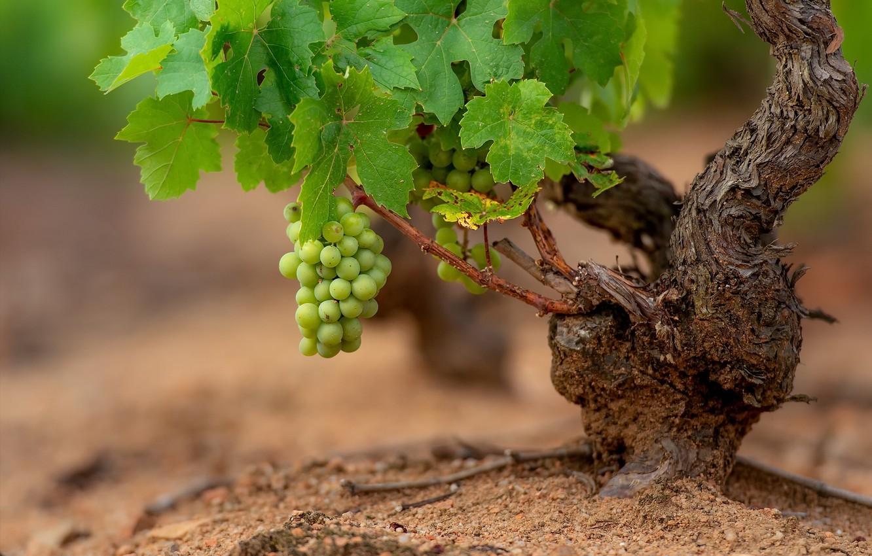 Фото обои природа, виноград, лоза