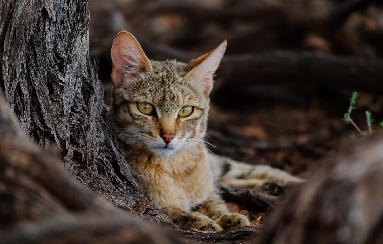 Фото обои природа, зверь, African Wildcat