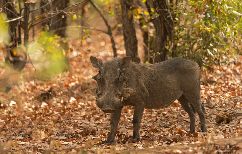Фото обои africa, warthog, wild boar