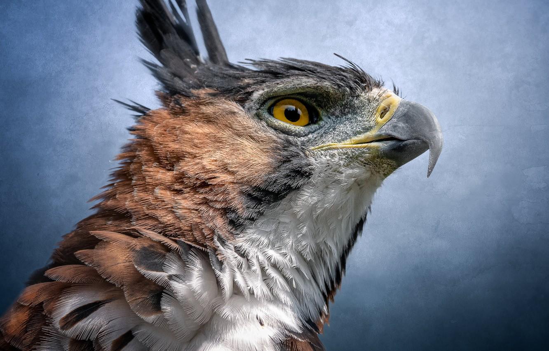 Фото обои птица, портрет, хищник, ястреб