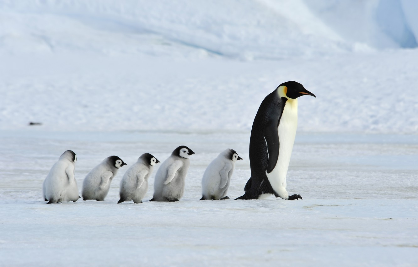 Фото обои father, family, mother, Emperor Penguins