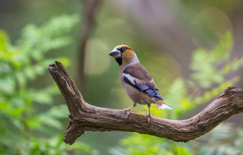 Фото обои птица, ветка, дубонос