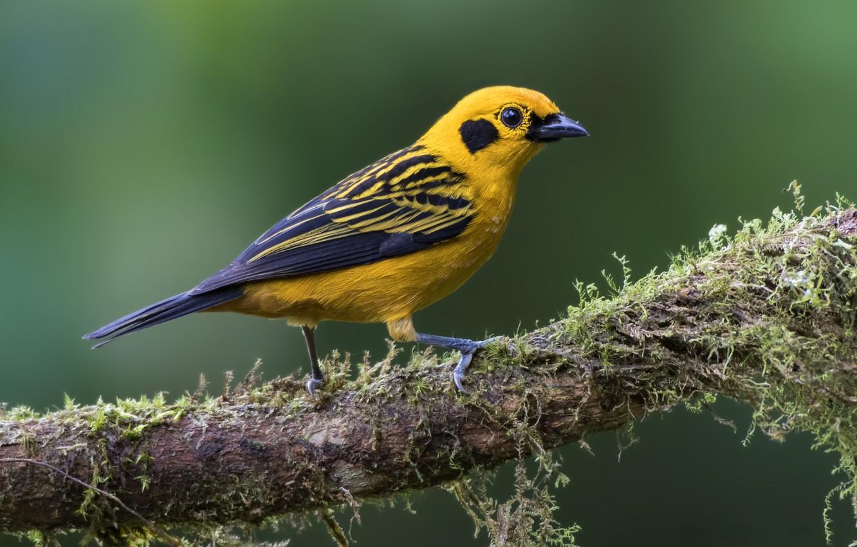 Фото обои птица, мох, ветка, золотая танагра