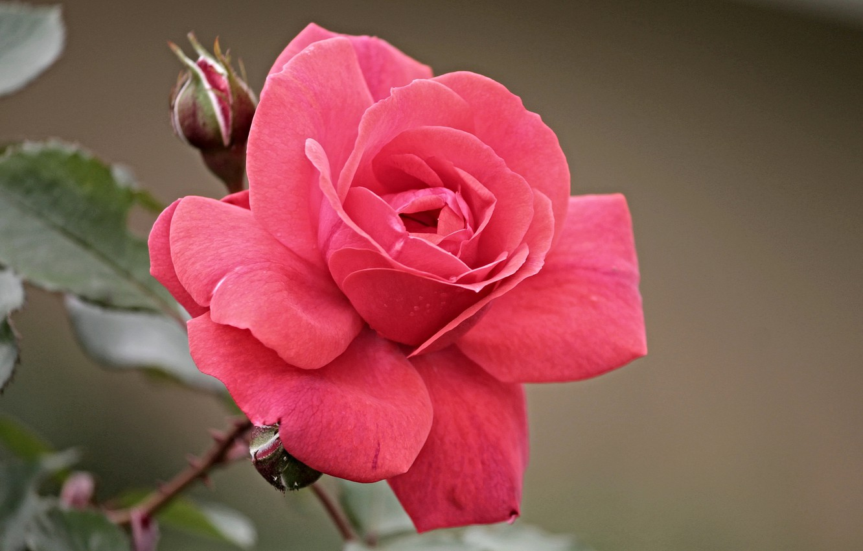 Фото обои роза, алая, боке