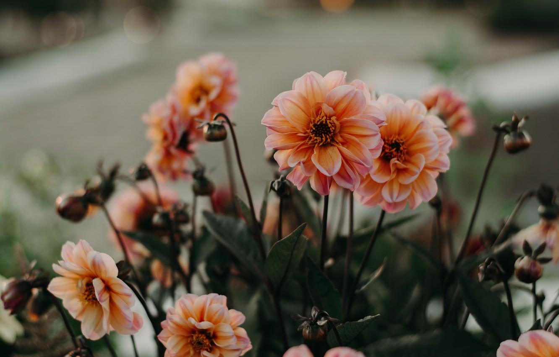 Обои стебель, цветок, оранжевая, Георгина, цветы. Цветы foto 12